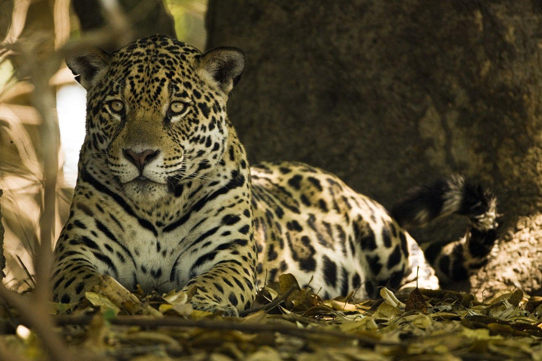 Jaguar Resized