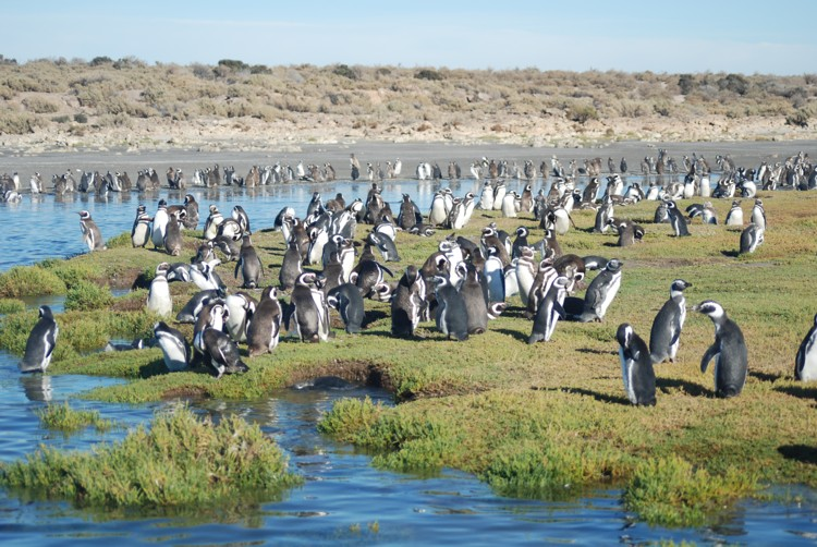 patagonai_bahiabustamante_group of penguins
