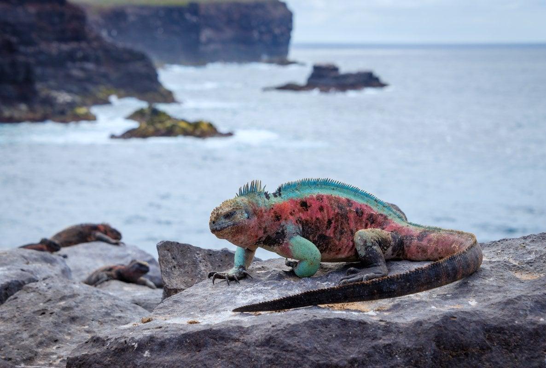 galapagos-espanola-island-punta-suarez-marine-iguana