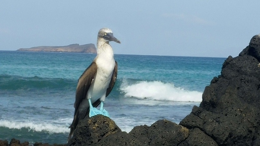 blue footed boobie - Copy
