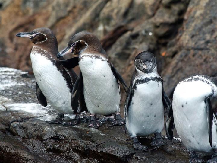 galapagos-penguins-720x540