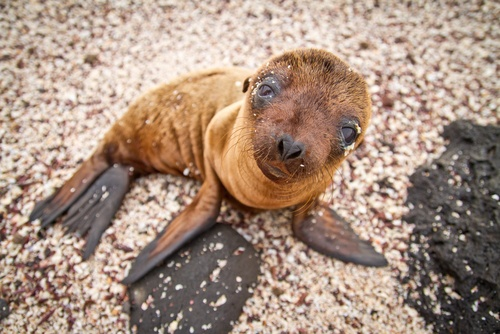 gps sea lion pup