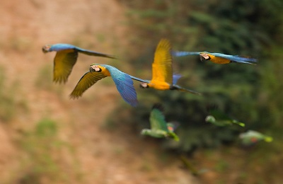peru_tambopata_researchcenter_parrots in flight_use