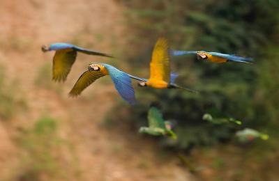 peru_tambopata_researchcenter_parrots in flight_use