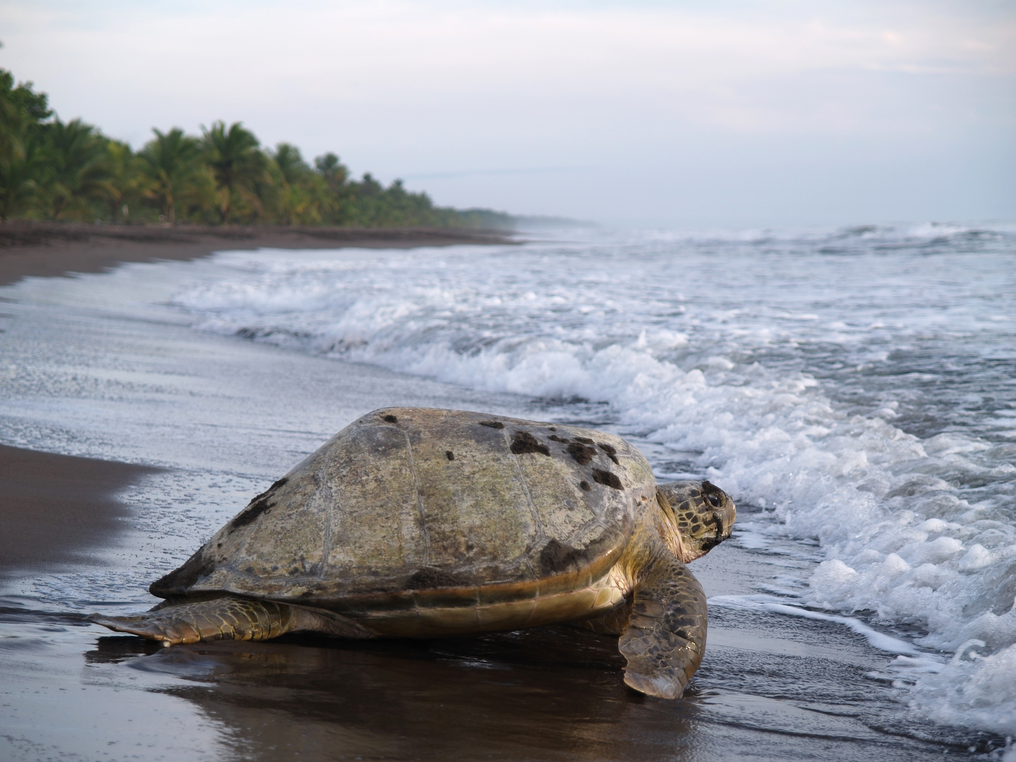Costa Rica Sea Turtles: Where and when to see them